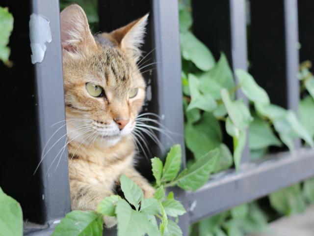 東京芸大の敷地から外を眺めるネコ。こちらが近づいても意に介さない。