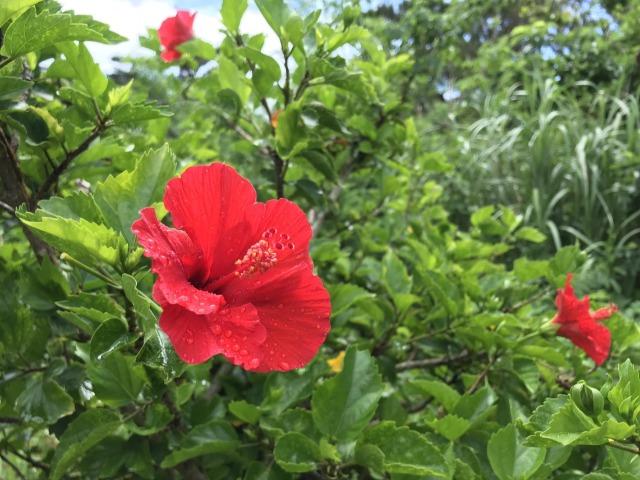 沖縄の夏には鮮やかな花がにあう