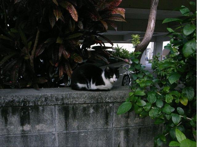 沖縄県那覇市の筆者の自宅周辺にいた猫