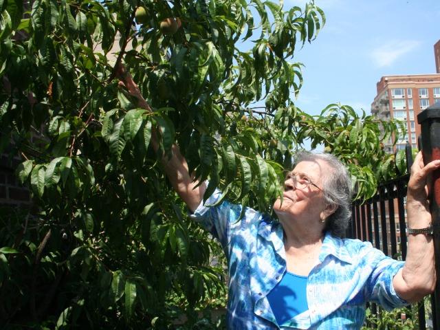 マンハッタンのアパートの16階で今年も桃が色づき始めた