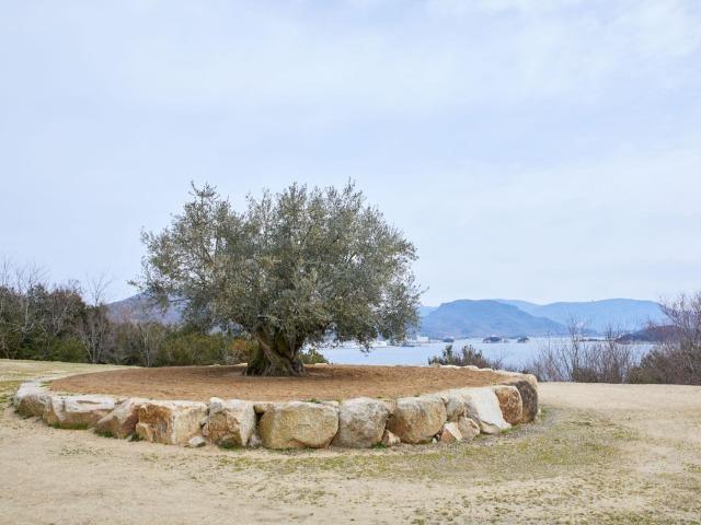 スペイン・アンダルシアから移植された樹齢1000年のオリーブ大樹(写真・Sohei Oya/Nacása & Partners Inc.)