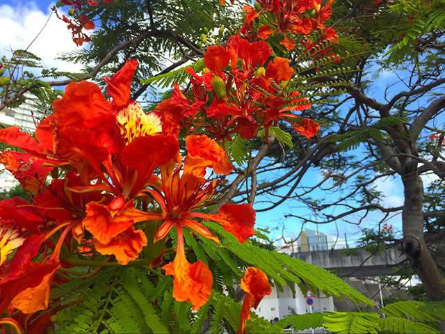 ホウオウボク。 マメ科ジャケツイバラ亜科の落葉高木。