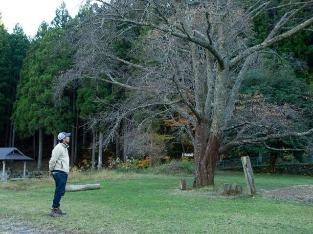 キャンプ場の中央にある大きなヤマザクラは、龍山秘密村のシンボルツリーとなっています。