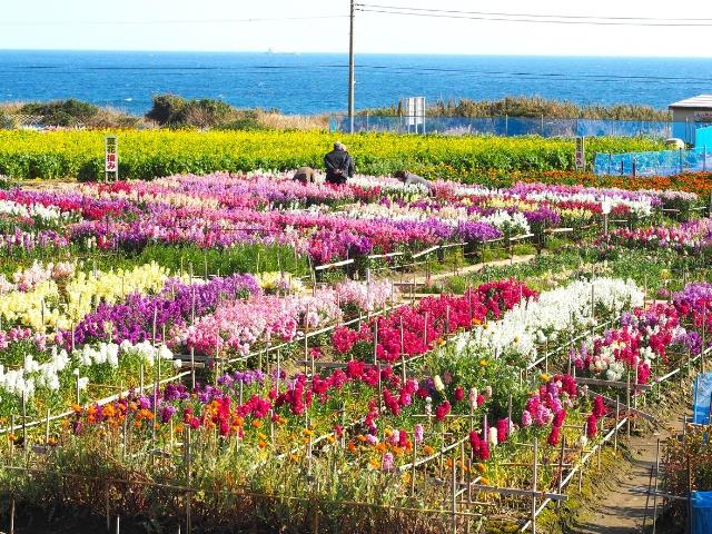 さまざまな花が咲き乱れる白間津のお花畑